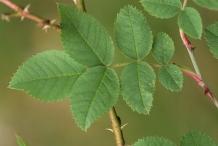 Rose-hip-leaves