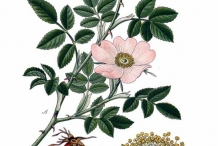 Rose-hip-illustration