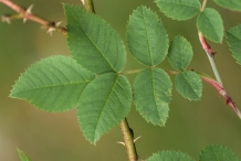 Rose-hip-leaves