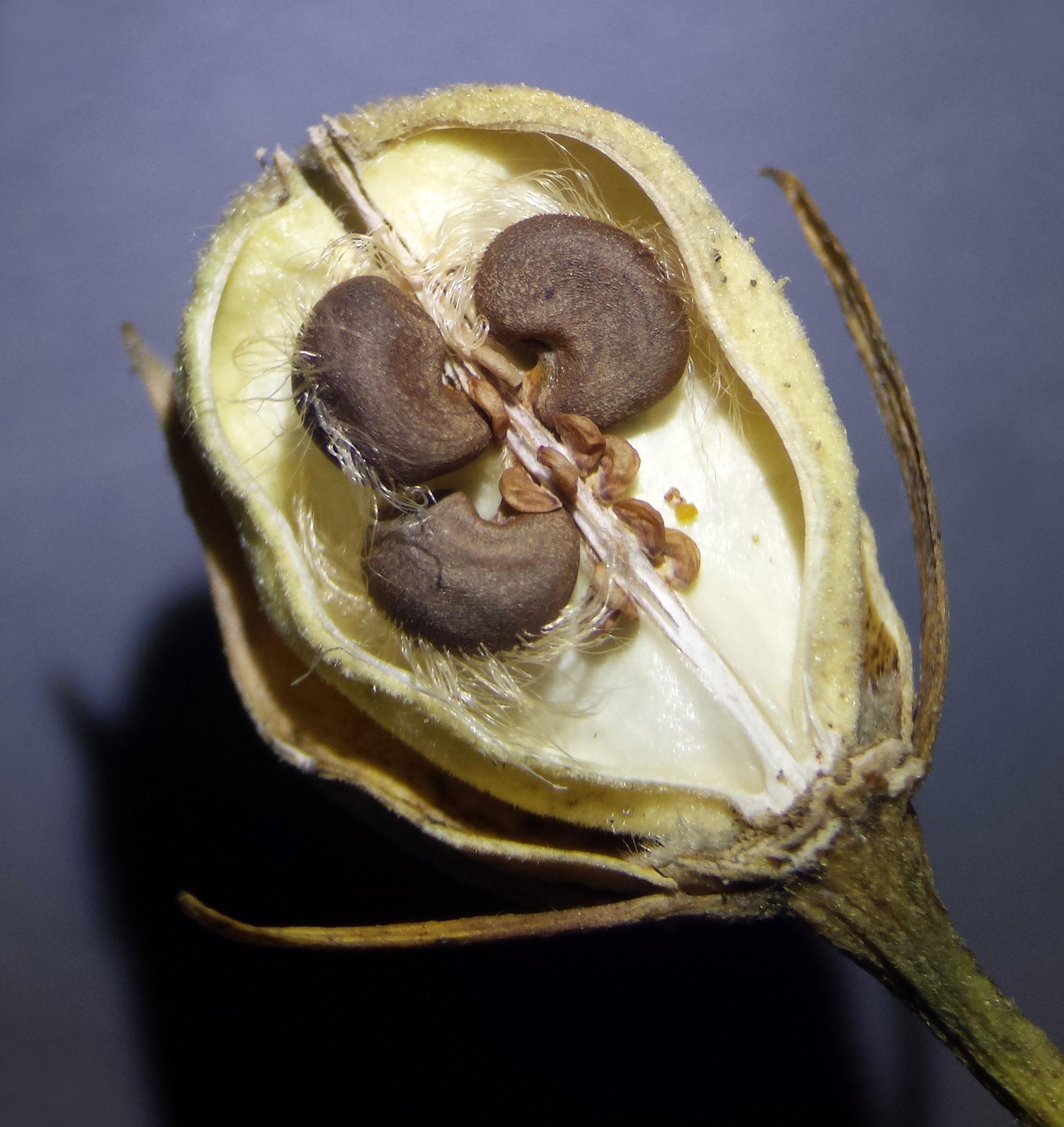 Half-cut-Rose-of-Sharon-fruit-showing-seeds