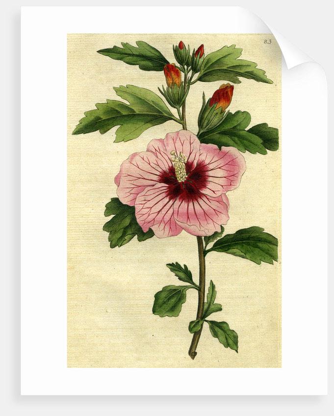 Plant-Illustration-of-Rose-of-Sharon