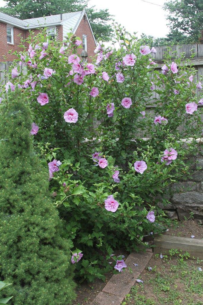 Rose-of-Sharon-plant