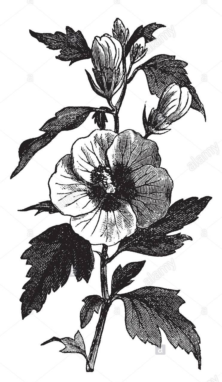 Sketch-of-Rose-of-Sharon