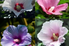 Different-varieties-of-Rose-of-Sharon