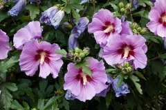 Flowers-of-Rose-of-Sharon-on-the-plant