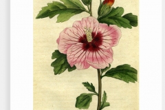 Plant-Illustration-of-Rose-of-Sharon