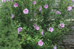 Rose-of-Sharon-plant
