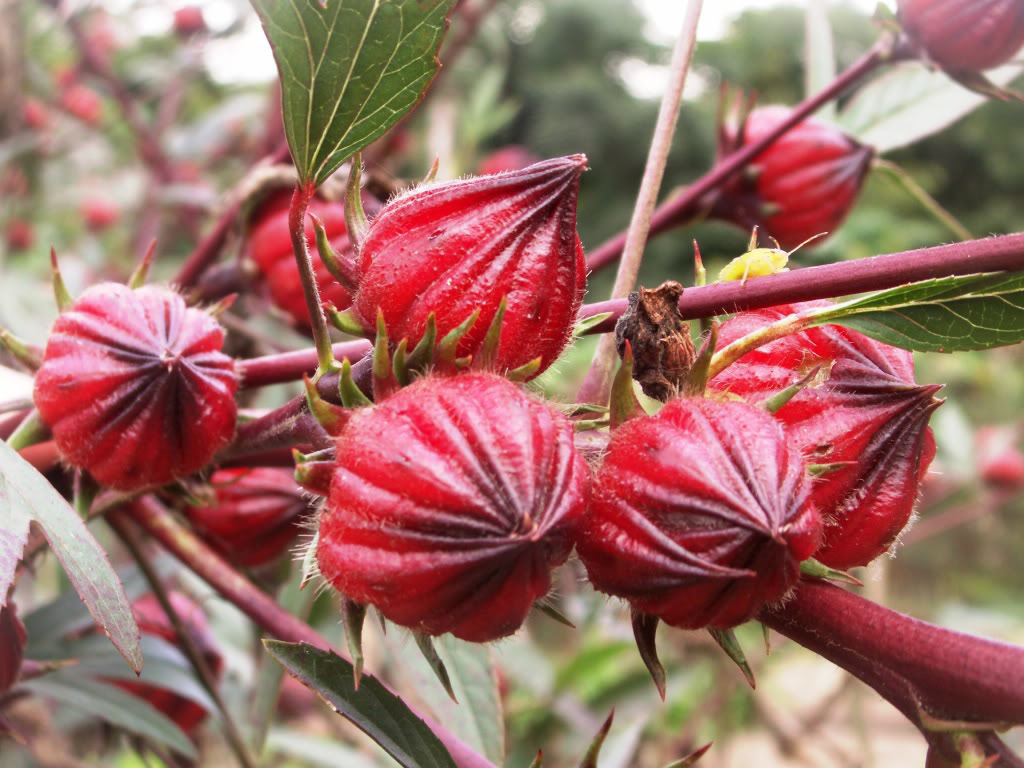 Roselle facts and health benefits roselle fruit izmirmasajfo Choice Image