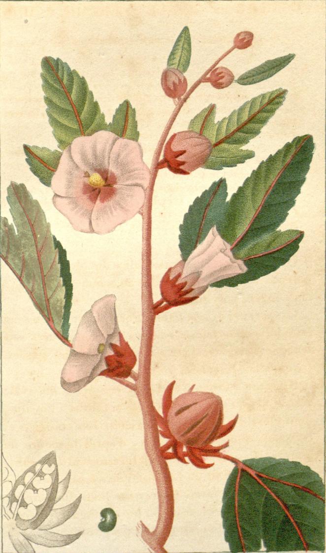 Roselle-plant-illustration