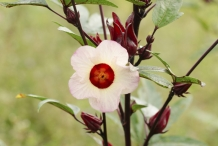 Roselle-flower