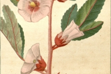 Roselle-plant-illustration
