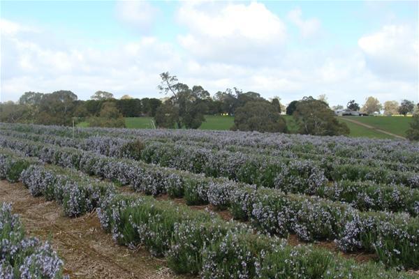 Rosemary-farm
