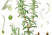 Illustration-of-Rosemary-plant