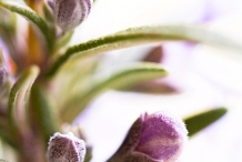 Rosemary-flower-buds