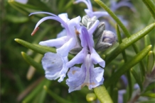 Rosemary-close-up-flower