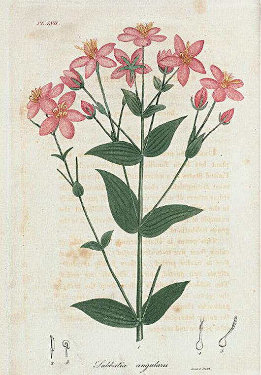 Plant-illustration-of-Rosepink