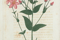 Plant-illustration-of-Rosepink