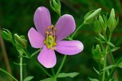 Rosepink-flower
