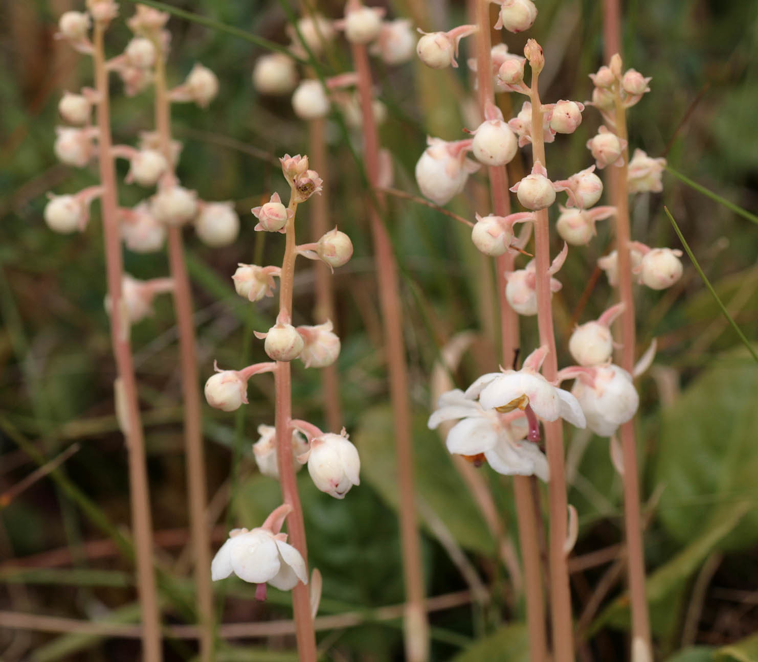 Flower-buds-of-Round-leaved-wintergreen