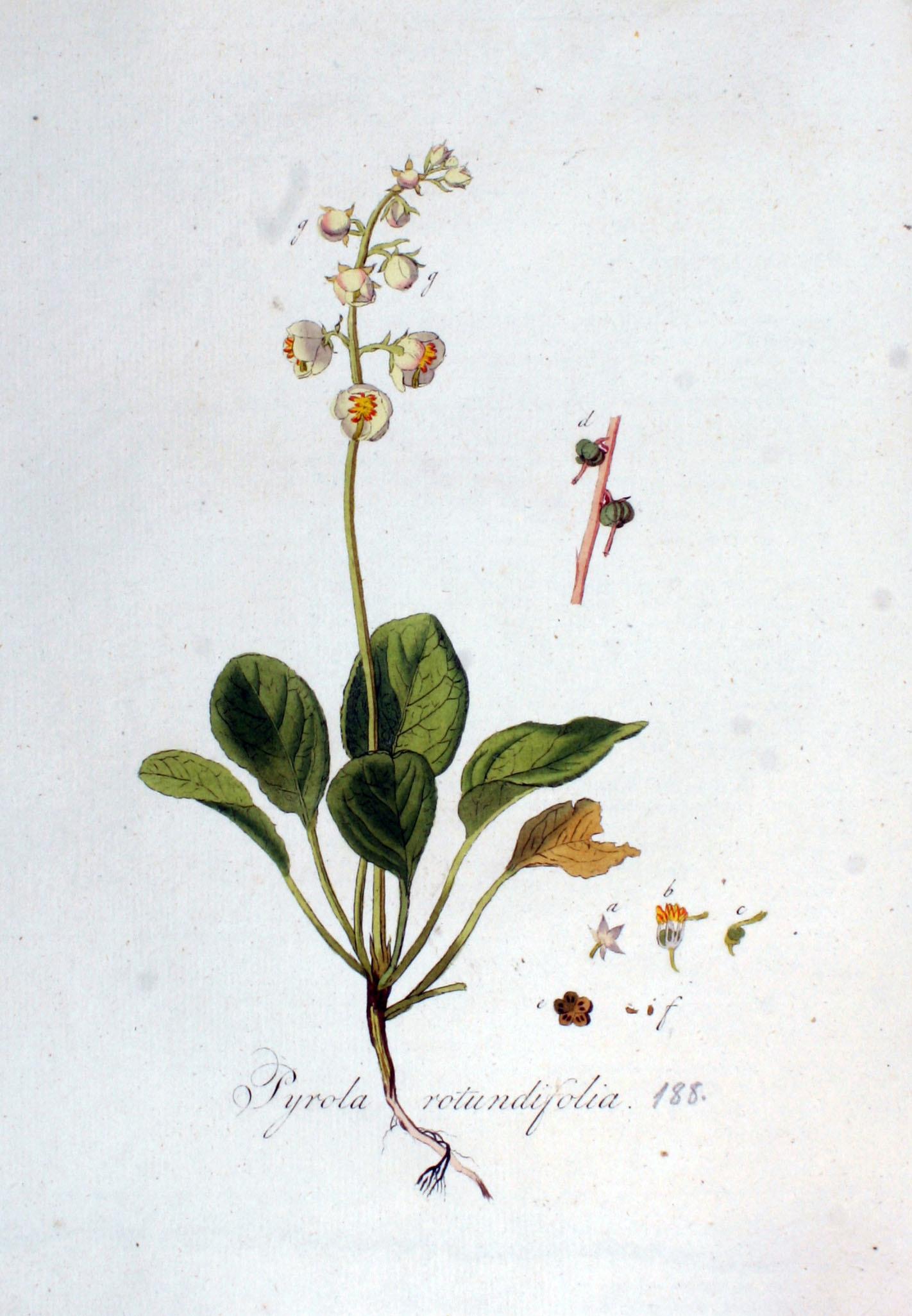 Plant-illustration-of-Round-leaved-wintergreen