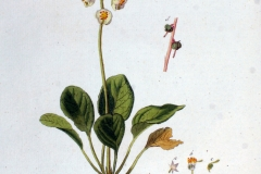 Plant-illustration-of-Round-leaved-wintergreen