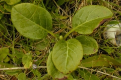Round-leaved-wintergreen-leaves