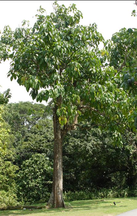 Rowal-fruit-tree
