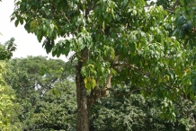 Rowal-fruit-tree