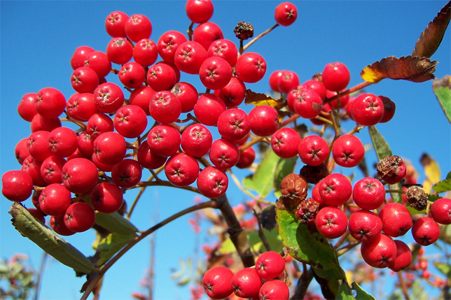 rowan berry facts health benefits and nutritional value