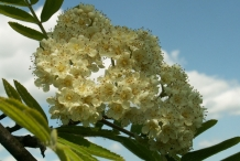 Rowan-berry-flowers