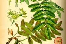 Rowan-berry-plant-illustration