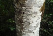 Rowan-berry-bark