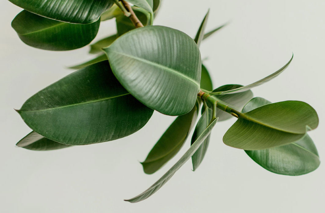 Leaves-of-Rubber-Plant