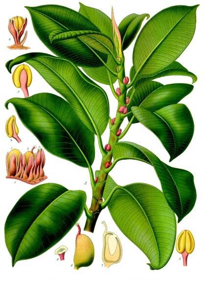 Plant-Illustration-of-rubber-plant