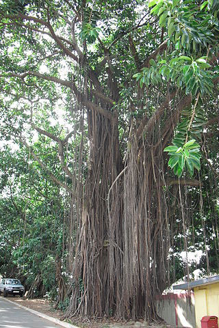 Rubber-plant-showing-the-aerial-roots