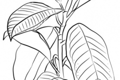 Sketch-of-Rubber-Plant