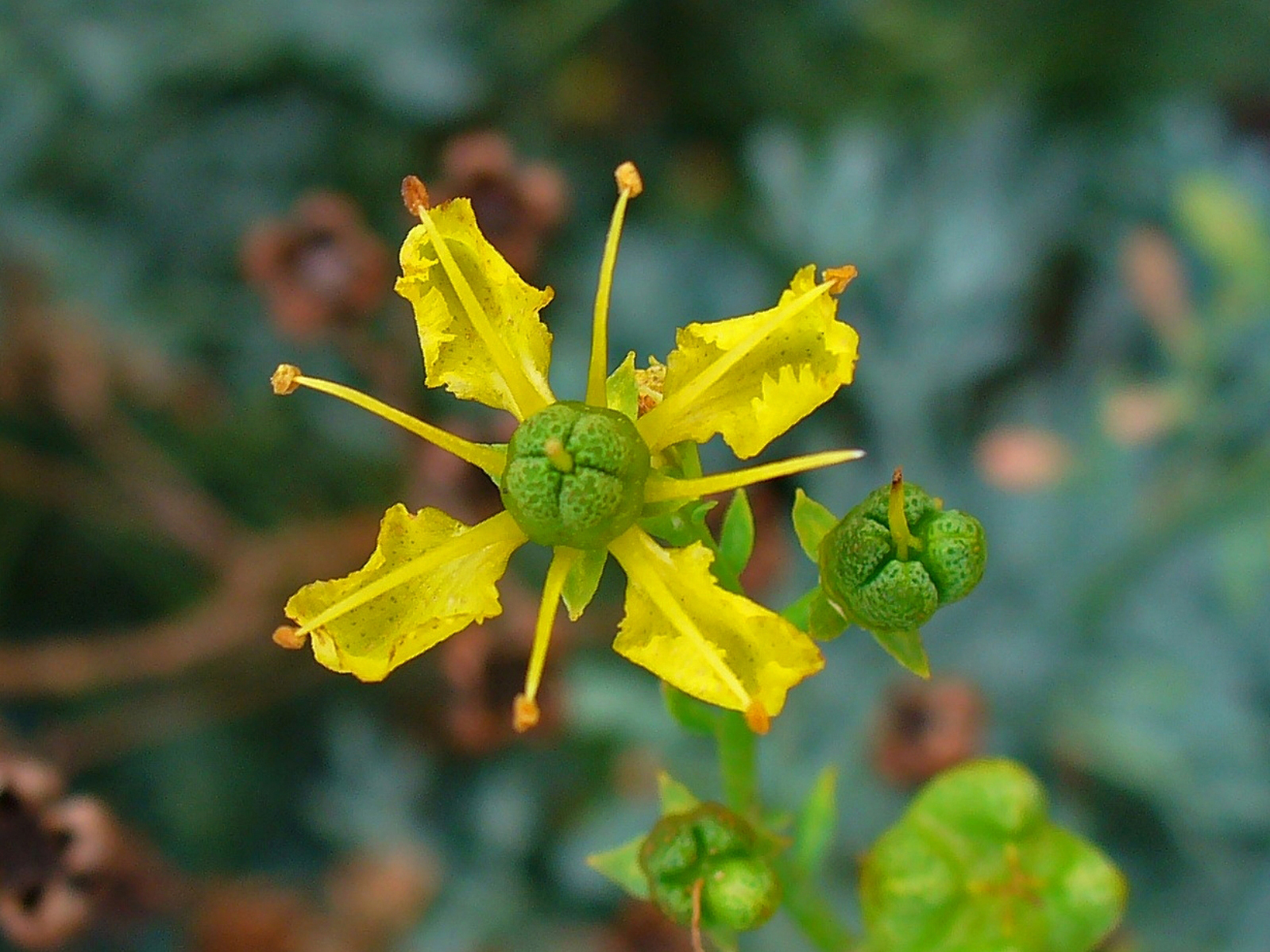 Close-view-of-Rue-flower