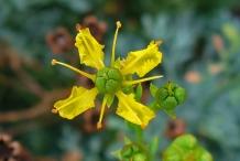 Close-view-of-Rue-flower