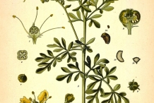 Plant-illustration-of-Rue