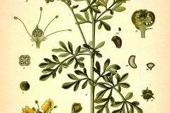 Plant-illustration-of-Rue