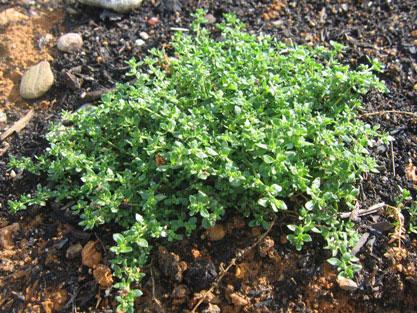 Rupturewort-Plant