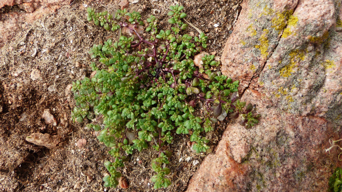 Rupturewort-plant-growing-wild
