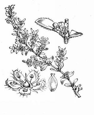 Sketch-of-Rupturewort