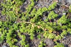 Closer-view-of-Rupturewort-plant