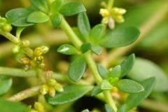 Leaves-of-Rupturewort