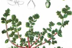 Plant-Illustration-of-Rupturewort