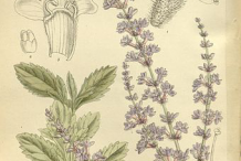 Plant-Illustration-of-Russian-Sage