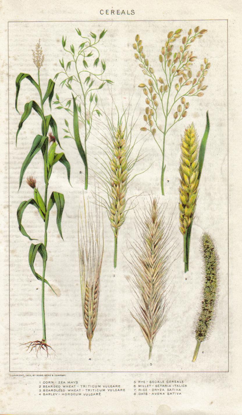 Rye-illustration