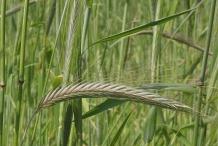 Rye-stalks