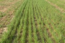 Rye-farm